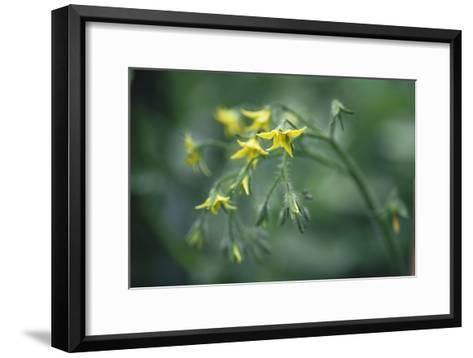 Tomato Plant Flowers-Duncan Smith-Framed Art Print
