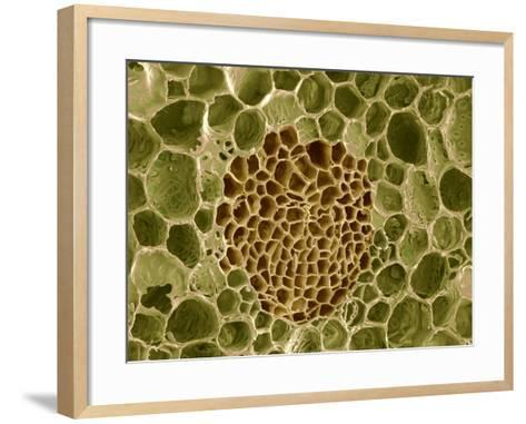 Xylem And Phloem Plant Tissue, SEM-Steve Gschmeissner-Framed Art Print
