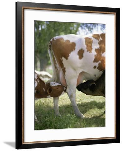 Calves Suckling on Their Mother-Bjorn Svensson-Framed Art Print