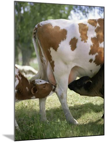 Calves Suckling on Their Mother-Bjorn Svensson-Mounted Photographic Print