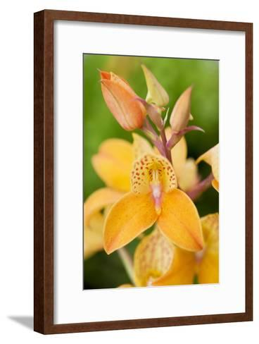 Orchid Disa Kewensis-Jon Stokes-Framed Art Print