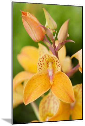 Orchid Disa Kewensis-Jon Stokes-Mounted Photographic Print