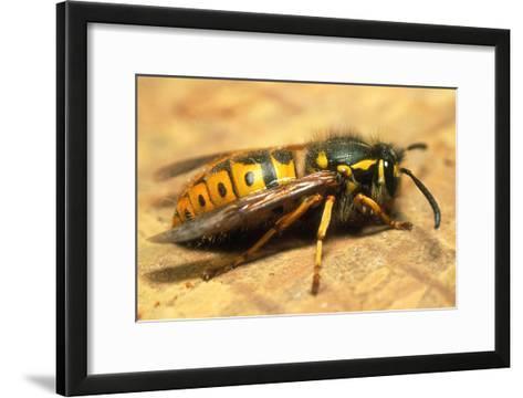 A Common Adult Worker Wasp, Vespula Vulgaris-Sinclair Stammers-Framed Art Print