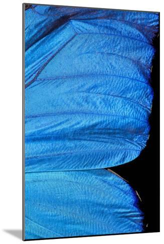 Blue Morpho Butterfly Wing-Paul Stewart-Mounted Photographic Print