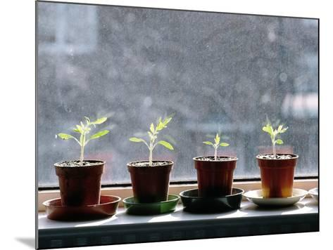 Tomato Plants Growing In a Growbag-Bjorn Svensson-Mounted Photographic Print