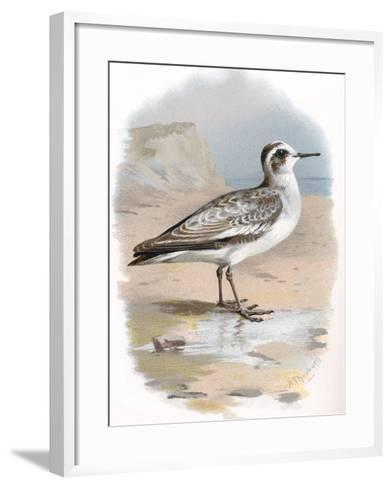 Grey Phalarope, Historical Artwork-Sheila Terry-Framed Art Print