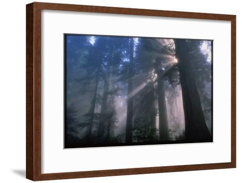 Light Coming Through Redwood Trees.-Kaj Svensson-Framed Art Print