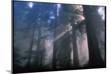 Light Coming Through Redwood Trees.-Kaj Svensson-Mounted Photographic Print