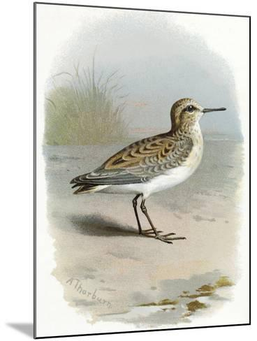 Little Stint, Historical Artwork-Sheila Terry-Mounted Photographic Print