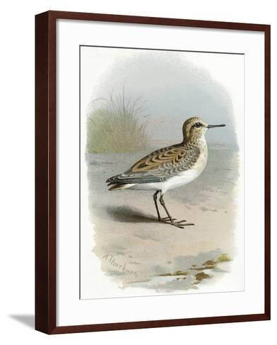 Little Stint, Historical Artwork-Sheila Terry-Framed Art Print