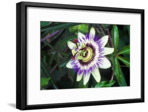 Passion Flower (Passiflora Sp.)-Kaj Svensson-Framed Art Print