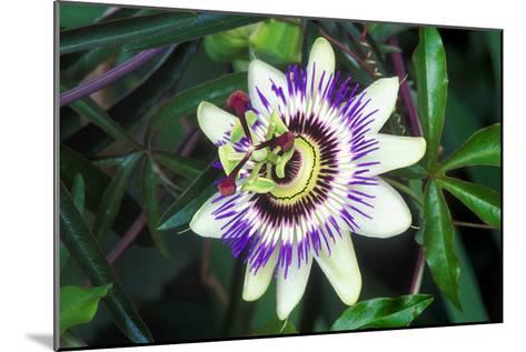 Passion Flower (Passiflora Sp.)-Kaj Svensson-Mounted Photographic Print