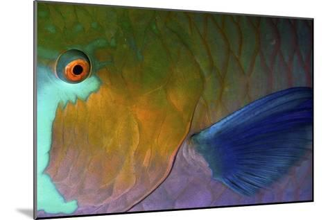 Rusty Parrotfish--Mounted Photographic Print