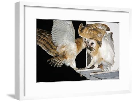 Barn Owls Feeding on a Rat--Framed Art Print