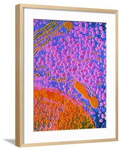 F-col TEM of Cell In Anterior Human Pituitary--Framed Art Print