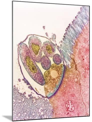 Cryptosporidium Protozoa, TEM--Mounted Photographic Print