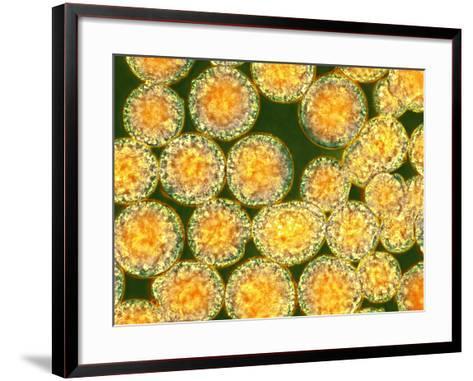 Stem Cells, Light Micrograph-NIBSC-Framed Art Print