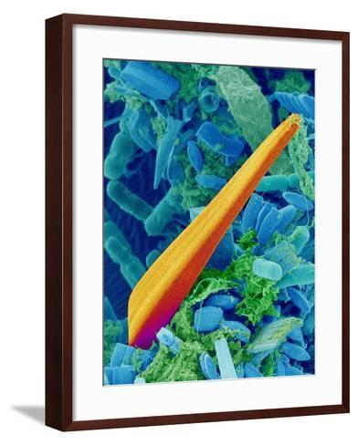 Marine Diatom Alga, SEM-Susumu Nishinaga-Framed Art Print