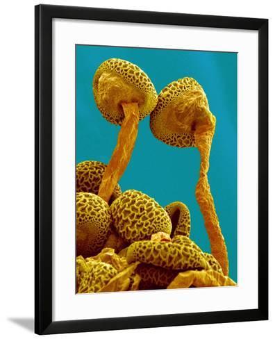 Pollen Tubes of Lily Pollen, SEM-Susumu Nishinaga-Framed Art Print