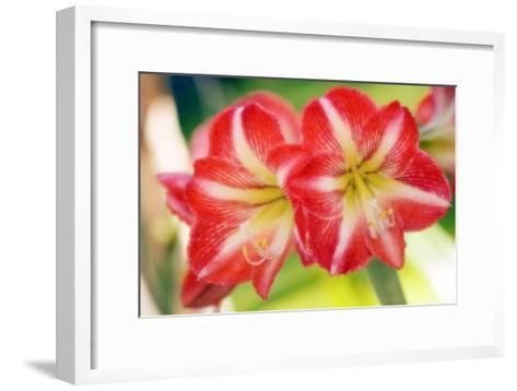 Amaryllis (Hippeastrum Sp.)-Maria Mosolova-Framed Art Print