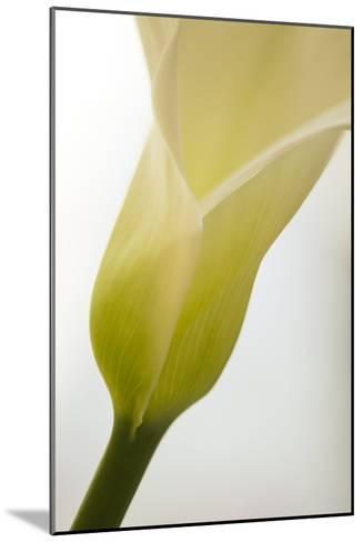 Calla Lily (Zantedeschia Aethiopica)-Maria Mosolova-Mounted Photographic Print