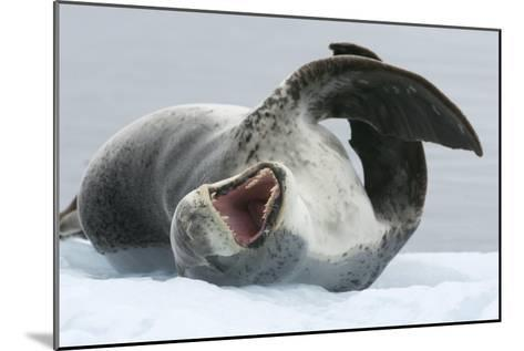 Leopard Seal-Louise Murray-Mounted Photographic Print
