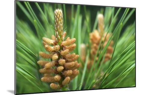 White Pine (Pinus Strobus)-Maria Mosolova-Mounted Photographic Print