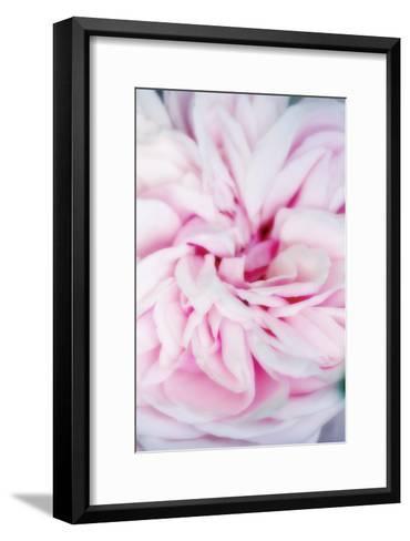 Rose Flower (Rosa Sp.)-Maria Mosolova-Framed Art Print
