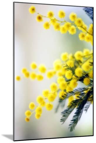 Mimosa (Acacia Dealbata)-Maria Mosolova-Mounted Photographic Print