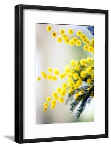 Mimosa (Acacia Dealbata)-Maria Mosolova-Framed Art Print