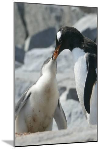 Gentoo Penguin Feeding Chick-Louise Murray-Mounted Photographic Print