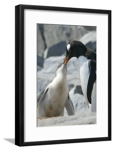 Gentoo Penguin Feeding Chick-Louise Murray-Framed Art Print