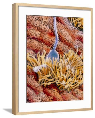 False-colour SEM of Sperm In Uterus-P.m. Motta-Framed Art Print
