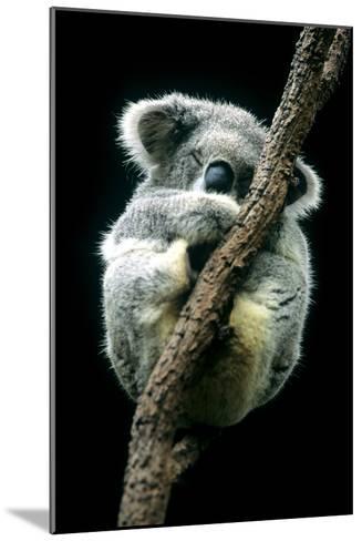 Koala Sleeping-Louise Murray-Mounted Photographic Print