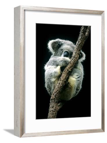 Koala Sleeping-Louise Murray-Framed Art Print