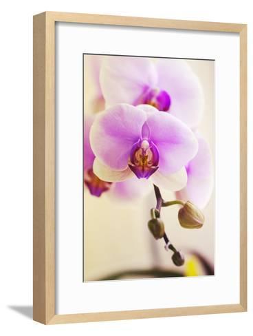 Phalaenopsis Hinamatsuri 'Blushing Bride'-Maria Mosolova-Framed Art Print