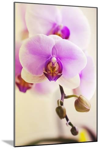 Phalaenopsis Hinamatsuri 'Blushing Bride'-Maria Mosolova-Mounted Photographic Print