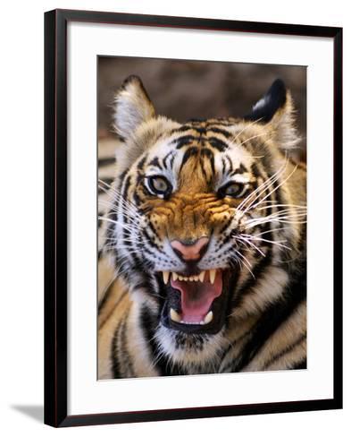 Bengal Tiger (Panthera Tigris)-Louise Murray-Framed Art Print