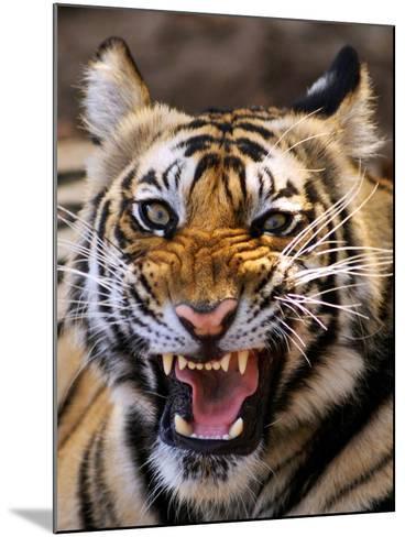Bengal Tiger (Panthera Tigris)-Louise Murray-Mounted Photographic Print