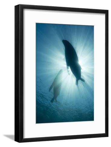 Australian Sea Lions-Matthew Oldfield-Framed Art Print