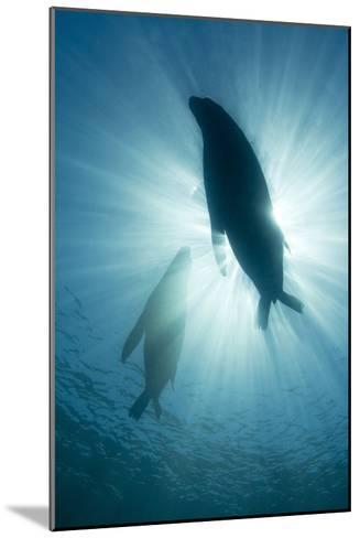 Australian Sea Lions-Matthew Oldfield-Mounted Photographic Print