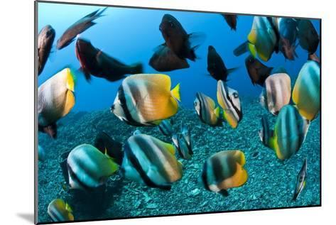 Tropical Reef Fish-Matthew Oldfield-Mounted Photographic Print