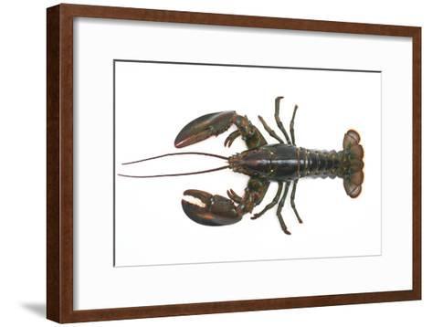 Atlantic Lobster-David Nunuk-Framed Art Print