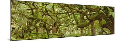 Moss-covered Trees-David Nunuk-Mounted Photographic Print