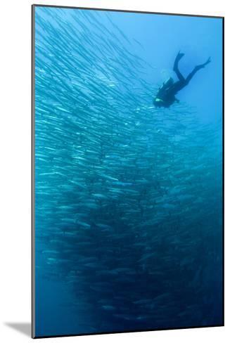 School of Chevron Barracuda-Matthew Oldfield-Mounted Photographic Print
