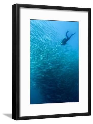 School of Chevron Barracuda-Matthew Oldfield-Framed Art Print