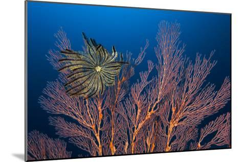 Sea Fan And Crinoid-Matthew Oldfield-Mounted Photographic Print