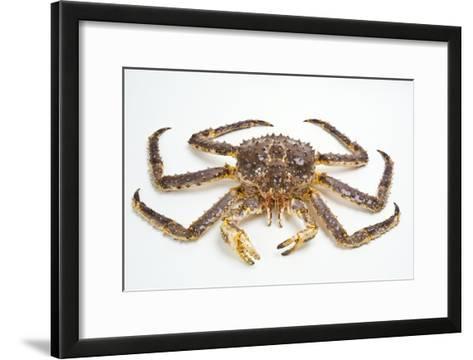 Red King Crab-David Nunuk-Framed Art Print
