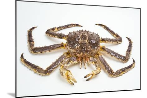 Red King Crab-David Nunuk-Mounted Photographic Print