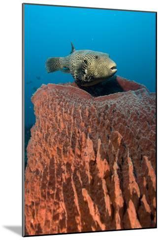 Map Pufferfish-Matthew Oldfield-Mounted Photographic Print